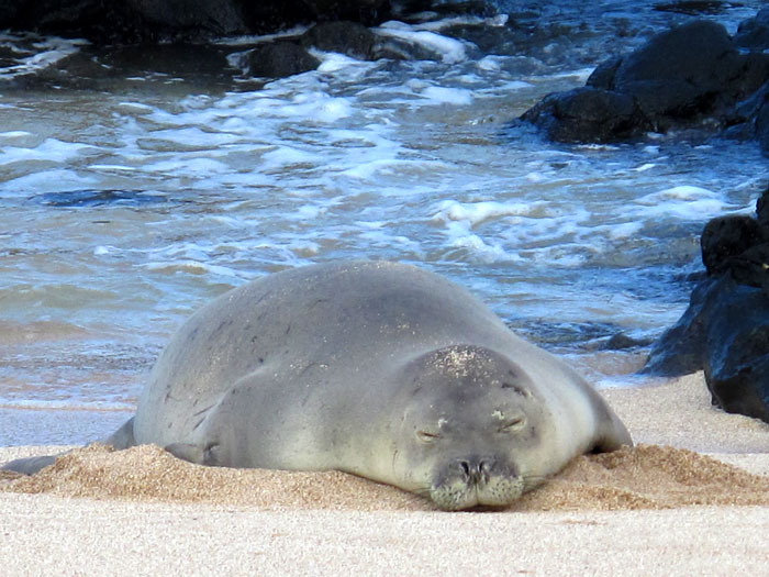 Monk Seal Snoozing on Molokai | Photo © Heidi Chang