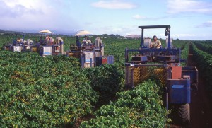 Harvesting coffee | Courtesy of Coffees of Hawaii