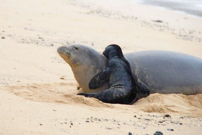 Monk Seal Mom & Pup