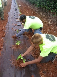 Planting coffee on Molokai | Courtesy Coffees of Hawaii